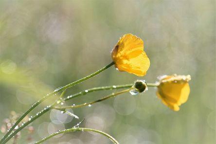 buttercup-2246129__480.jpg