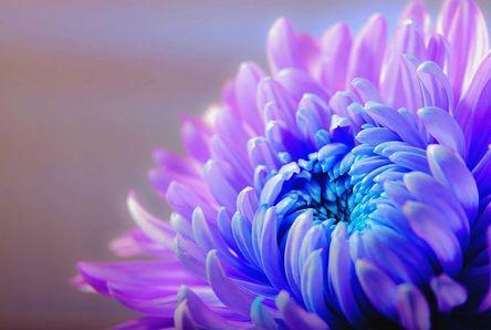 chrysanthemum-1332994__480.jpg