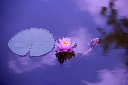 lotus-1205631__480.jpg