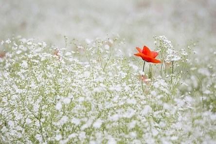 poppy-1128683__340.jpg