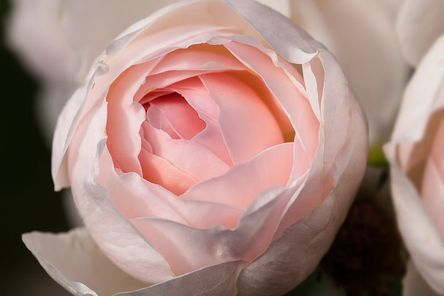 rose-420205__480.jpg
