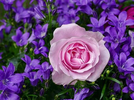 rose-rose-3352891__480-1.jpg