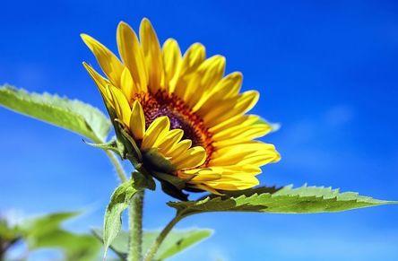 sun-flower-1536088__480.jpg