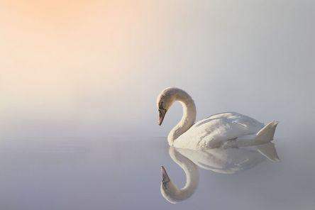 swan-3161142__480.jpg