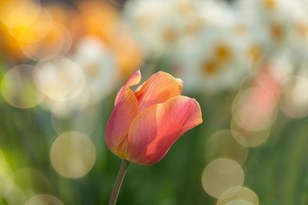 tulip-2189317__480.jpg
