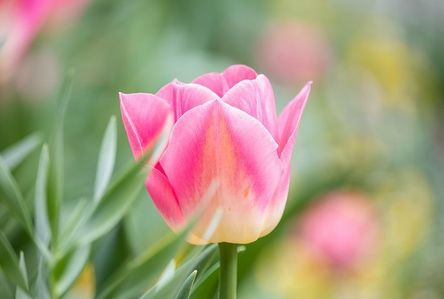 tulip-4153016__480.jpg