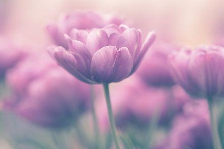 tulip-4155890__480.jpg