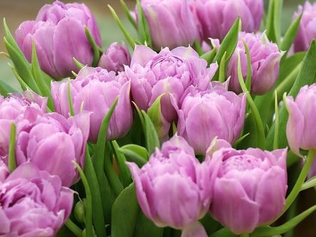 tulips-4032691__480.jpg