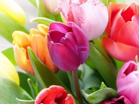 tulips-4039972__480.jpg