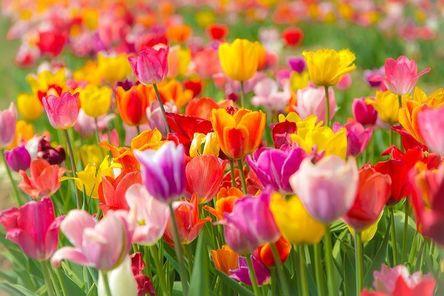 tulips-4127345__480.jpg