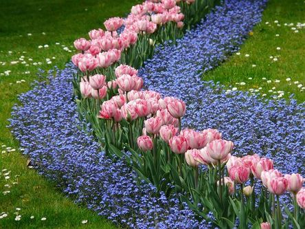 tulips-52136__480.jpg