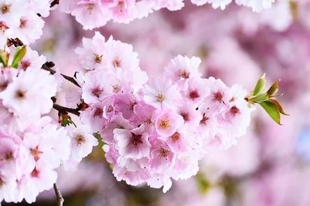 cherry-blossoms-3327498__480~2.jpg