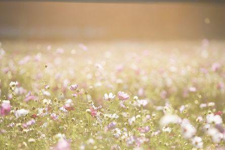 cosmos-flowers-1138041__480.jpg