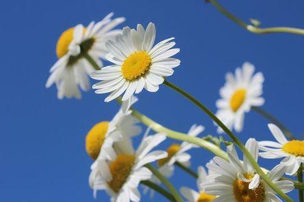 daisies-388946__480.jpg