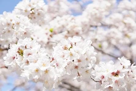 japanese-cherry-blossoms-6125088__480~2.jpg