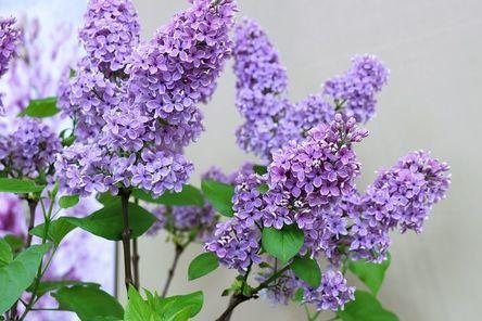 lilac-4032657__480.jpg