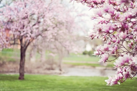 magnolia-trees-556718_1280.jpg