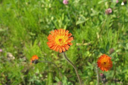 orange-hawkweed-383625__480.jpg