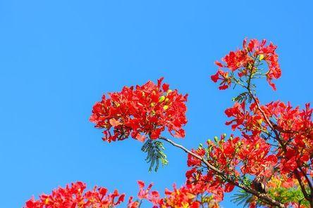 phoenix-flower-3352356__480.jpg