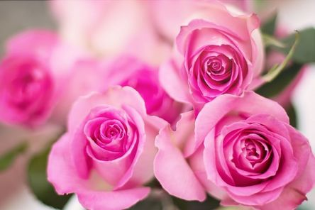pink-roses-2191631__480.jpg