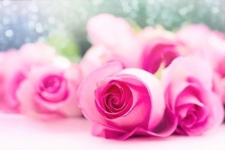 pink-roses-2191632__480~2.jpg