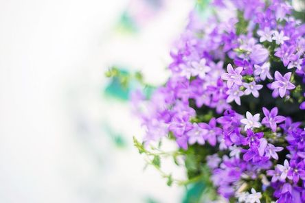 purple-flowers-2191635__480.jpg