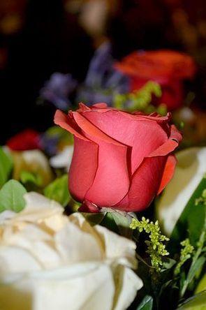rosa-1040792__480.jpg