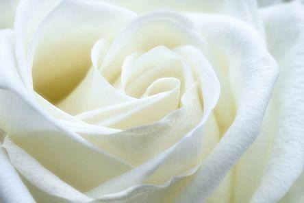 rose-1033202__480.jpg