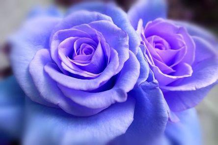 rose-1055577__480.jpg