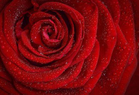 rose-1642970__480.jpg