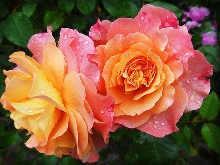 rose-174817__480.jpg