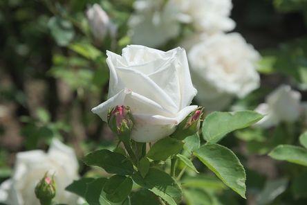 rose-2431068__480.jpg