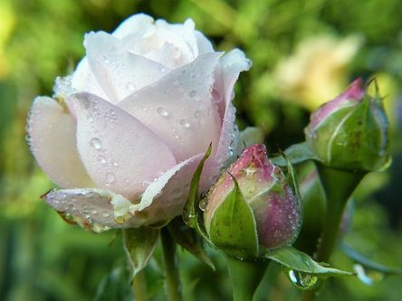 rose-2634474__480.jpg