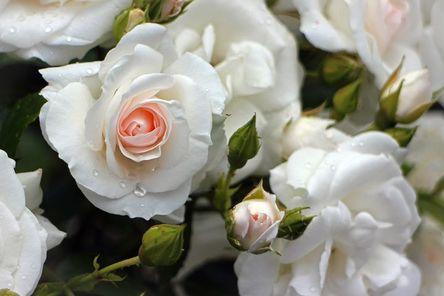 rose-373191__480.jpg