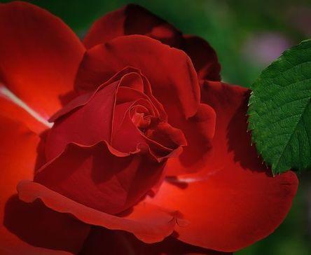 rose-411762__480.jpg
