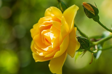 rose-4276903_1280.jpg