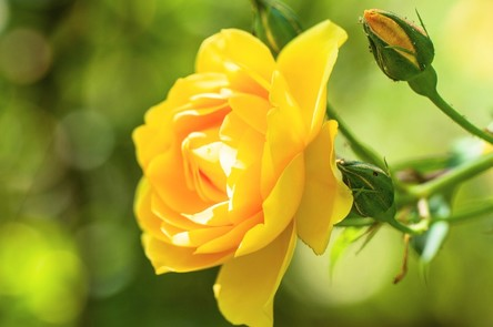 rose-4276903_1280~2.jpg
