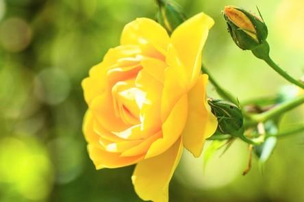 rose-4276903_1280~3.jpg