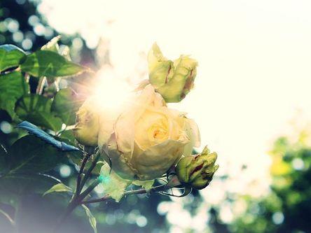 rose-824454__480.jpg