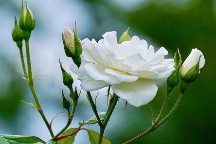 roses-2604125__480.jpg