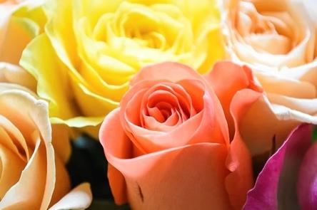 roses-3976621__480~2.jpg
