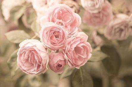 roses-4329209__480.jpg