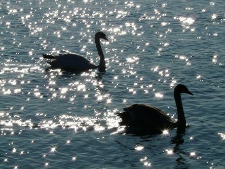 swan-10410_1280.jpg