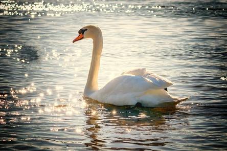 swan-2077219_1280.jpg