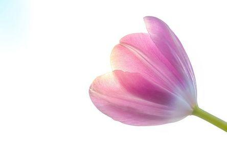tulip-3263195__480.jpg
