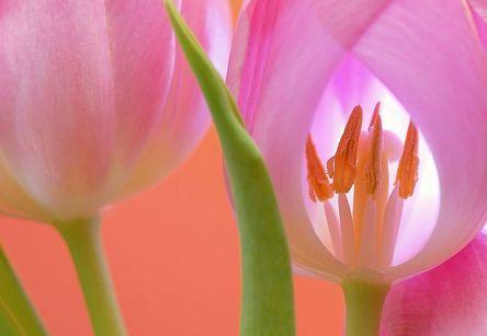 tulip-566875__480.jpg