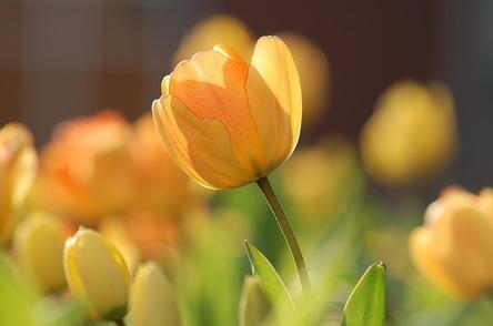 tulip-690320_1280 (1).jpg