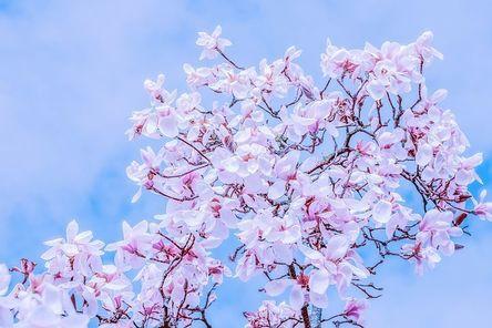 tulip-magnolia-4052780__480.jpg