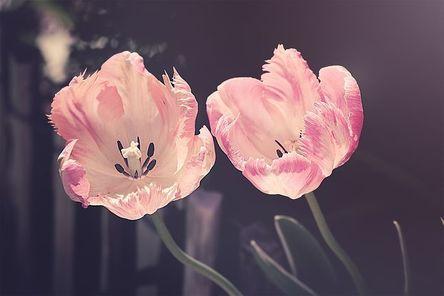 tulips-3339416__480.jpg