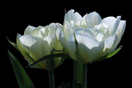 tulips-4132970__480.jpg